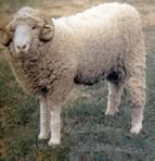 Ancon Sheep