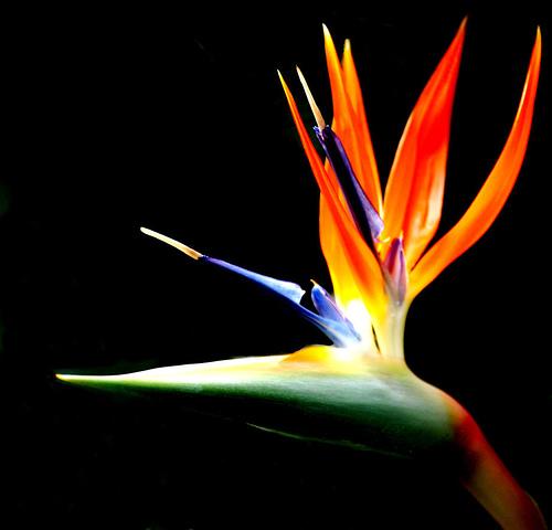 http://theora.com/images/Bird%20of%20Paradise%20(flower).jpg
