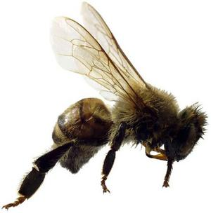 Humble Bee (killer honey bee)