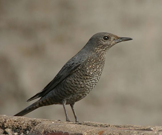 Rock Thrush (female)