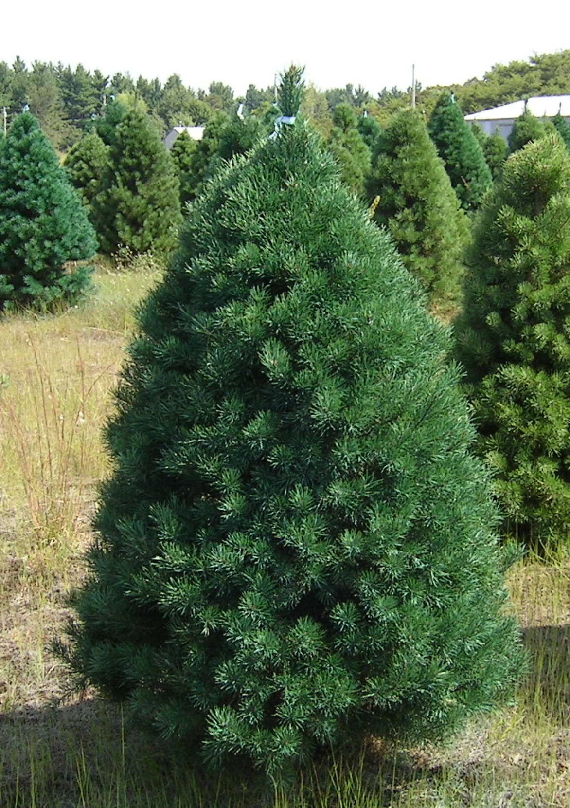 Scotch Fir