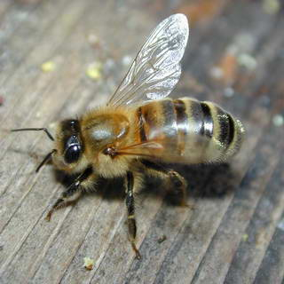 Honey Bee (Hive Bee)