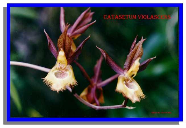 catasetum