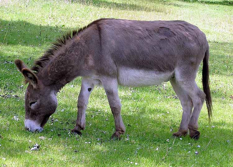 donkey (ass)