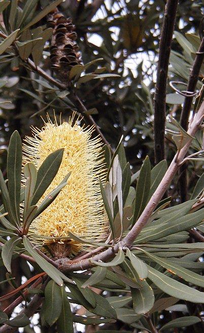integrifolia