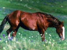 Mustang (Feral Horse)