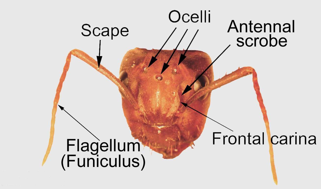 ocelli