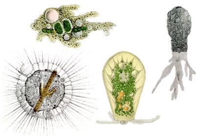 rhizopod