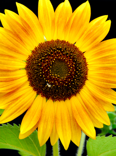 sunflower (Hieracium)