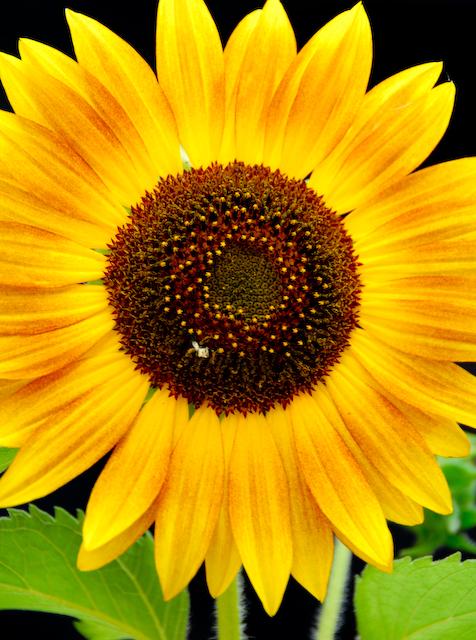 sunflower (Hieracium)