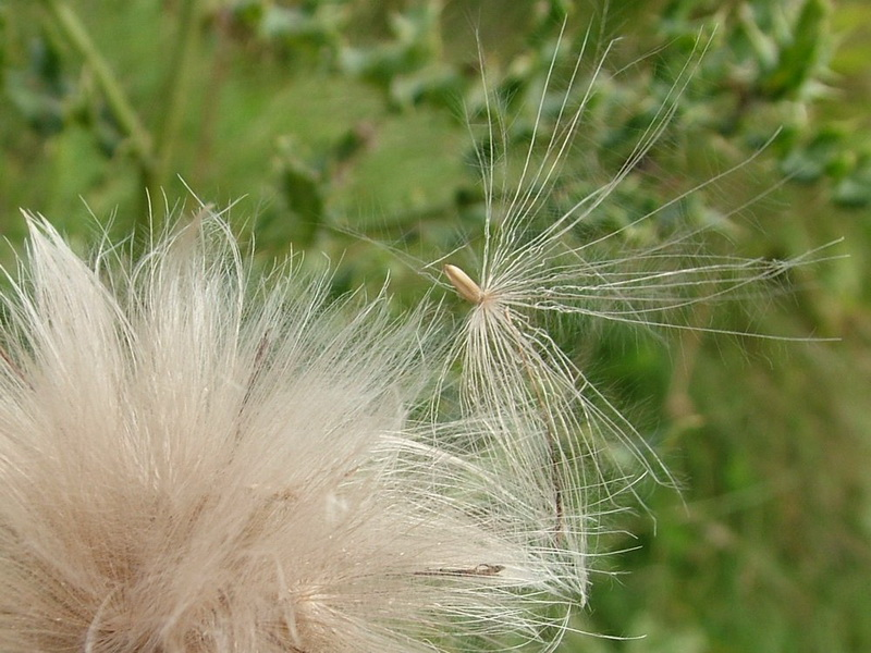 winged thistle seed